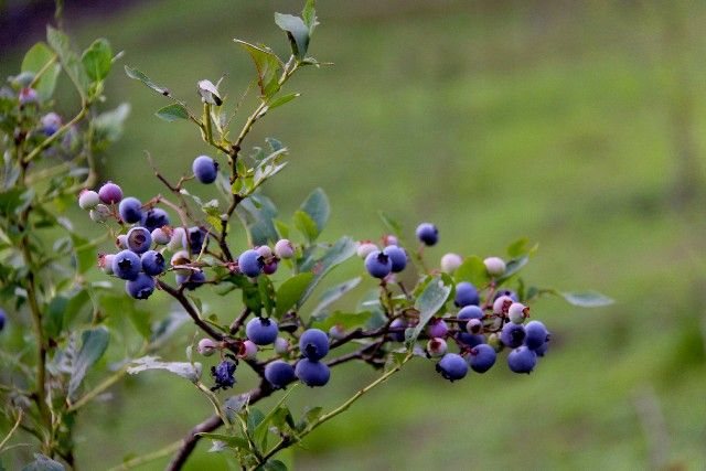 ms_blueberrys
