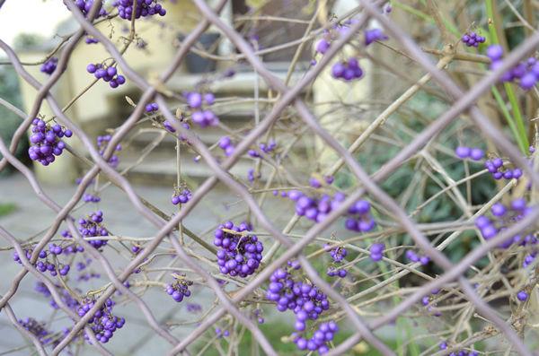ms_purple.fruits_3