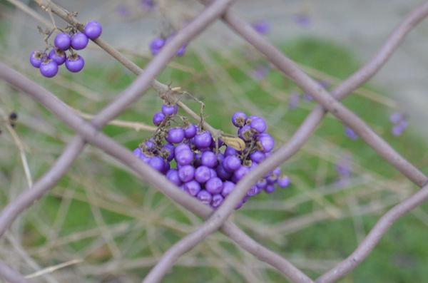 ms_purple.fruits_4