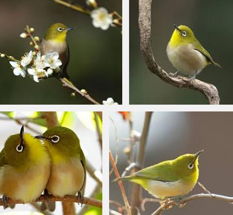 ms_bird_mejiro